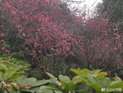 万州太白岩的红梅开得太美了,小伙伴们要来赏花的,赶紧来哟
