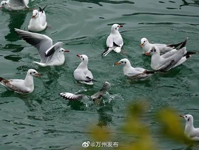 萌翻了!近日,红嘴鸥成群结队来万州过冬啦!