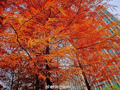 南滨公园,杉树红叶似火,远远望去像是天边的火烧云一般,怎么拍都美!